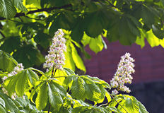 Branches of blossoming chestnut tree Stock Photography