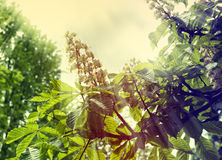 Branches of blossoming chestnut tree with sun beams Royalty Free Stock Photography