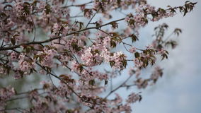 Branches of the blossoming Japanese Oriental cherry sakura stock video