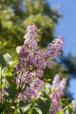 Branches of blossoming lilac Stock Image