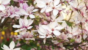 Branches of a blossoming Magnolia. Senni breeze, gentle sun, pink petals, flowers, gentle flavor stock video footage