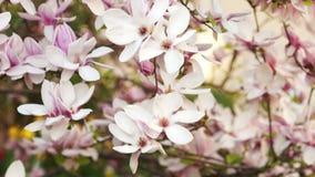 Branches of a blossoming Magnolia. Senni breeze, gentle sun, pink petals, flowers, gentle flavor stock video