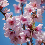 Branches of a blossoming peach Royalty Free Stock Photography