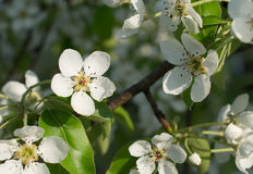 Branches of a blossoming pear against the blue sky. Branches of a blossoming pear against Royalty Free Stock Image