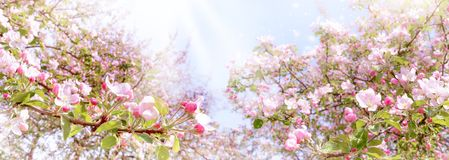 Branches of blossoming pink apple on light blue sky background panoramic view. Beautiful spring banner panoramic view. Branches of blossoming pink apple on light stock image
