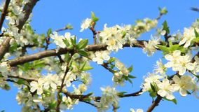 Branches of blossoming plum tree. White flowers. Blooming plum tree, plum-tree branch covered with white flowers and foliage on blue sky background. Blossoming stock video