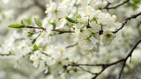 Plum trees blossoming in a spring garden. stock video