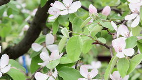 Branches of a blossoming quince stock footage