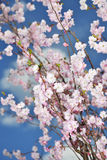 Branches of  blossoming tree Stock Image