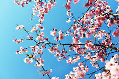 Branches of  blossoming tree Royalty Free Stock Photos