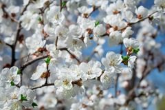 Branches of a blossoming tree with white flowers Royalty Free Stock Photography