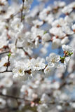 Branches of a blossoming tree with white flowers Royalty Free Stock Image