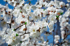 Branches of a blossoming tree with white flowers Royalty Free Stock Images