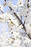 Branches blossoming with white flowers Stock Photos
