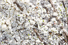 Branches blossoming with white flowers Stock Image