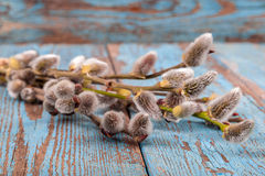 Branches of a blossoming willow. Stock Photo