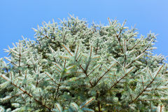 Branches of a blue fir-tree royalty free stock photos