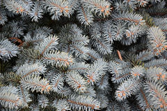 Branches of blue fir tree Royalty Free Stock Photo
