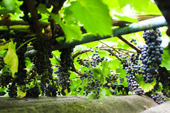 Branches with blue grapes Stock Photo