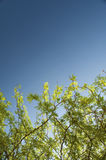 branches and blue sky Royalty Free Stock Images