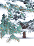 Branches of blue spruce Royalty Free Stock Photos