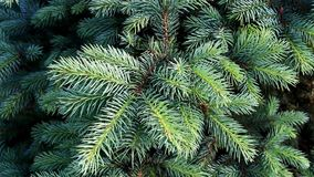 Branches of blue spruce stock video