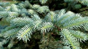 Branches of blue spruce stock footage