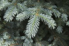 The branches of the blue spruce close-up. Blue spruce or prickly spruce Picea pungens - representative of the genus Spruce from. The Pine family royalty free stock photo