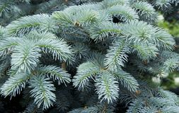 The branches of the blue spruce close-up. Blue spruce or prickly spruce Picea pungens - representative of the genus Spruce from. The Pine family stock photo