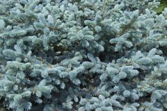 The branches of the blue spruce close-up. Blue spruce or prickly spruce Picea pungens - representative of the genus Spruce from. The Pine family stock image