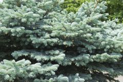The branches of the blue spruce close-up. Blue spruce or prickly spruce Picea pungens - representative of the genus Spruce from. The Pine family stock photography