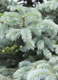 The branches of the blue spruce close-up. Blue spruce or prickly spruce Picea pungens - representative of the genus Spruce from. The Pine family royalty free stock photography