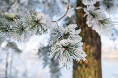 Branches of blue spruce is covered with frost royalty free stock photography
