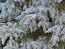 Branches of blue spruce with fluffy needles Royalty Free Stock Images