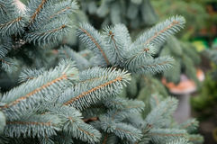 Branches of blue spruce Stock Image