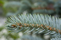 Branches of blue spruce in large, close-up. Macro Royalty Free Stock Photography