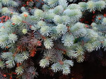 Branches of blue spruce. Nature needles beautiful close up Royalty Free Stock Image