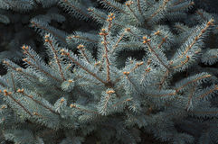 Branches of blue spruce Stock Photo