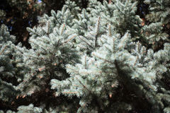 Branches of blue spruce in the shade and the light. Sunny day in autumn forest Royalty Free Stock Photos