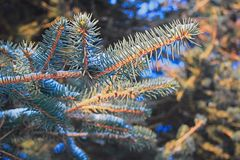 Branches of blue spruce with snow close-up Royalty Free Stock Photography