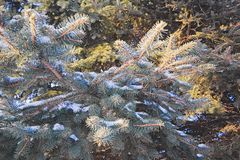Branches of blue spruce with snow close-up Royalty Free Stock Photo