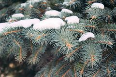 Branches of blue spruce with snow close-up Royalty Free Stock Images
