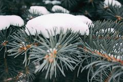 Branches of blue spruce with snow close-up Stock Photo