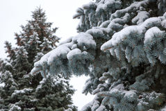 Branches of a blue spruce under snow Royalty Free Stock Photography