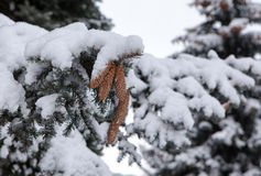 Branches of a blue spruce under snow Stock Images