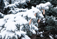Branches of a blue spruce under snow Royalty Free Stock Photos