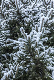 Branches of a blue spruce under snow Stock Image