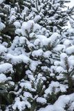 Branches of a blue spruce under snow Stock Photos