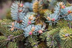 Branches of the blue spruce with young pink cones Stock Photo