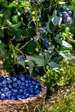 Close up.Branches of blueberries with berries and blueberries in the basket, harvesting royalty free stock photos